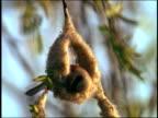 Close up bird (penduline tit) constructing circular nest of fibrous material