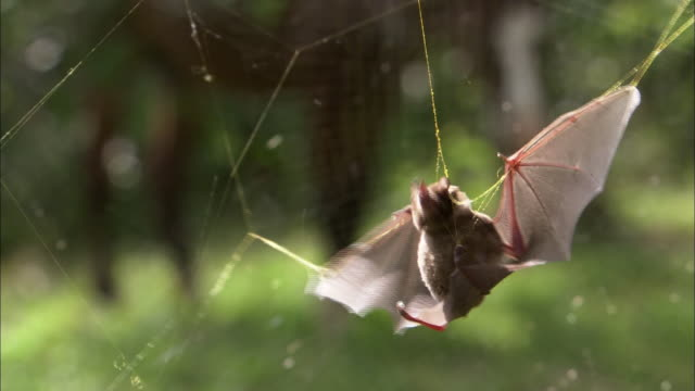 Close up; Brown bat struggling in spider web with wings spread