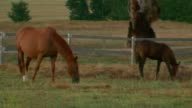 close up brown mare and foal graze eating grass in paddock / wide shot twilight locked off shot mare and foal graze in paddock mid shot pink sunset...