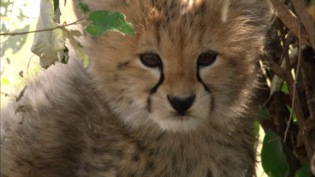 Close up cheetah cub licking its chops and looking at CAM / Masai Mara, Kenya