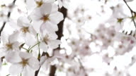 Close up Cherry Blossoms in Japan