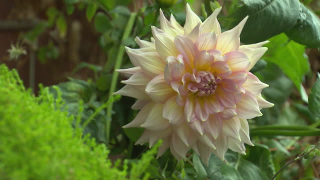 Close up Dahlia flower in full bloom with white petals and soft pink centre camera focus from green foliage to flower
