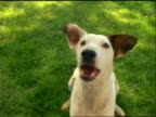 close up dog sitting on grass barking at camera outdoors