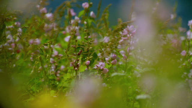 close up dolly shot pink mountain hollyhock wildflowers in field outdoors / Grand Tetons, Wyoming