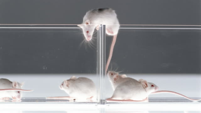 Close up dolly shot studio shot of white mice climbing in and over partitioned glass case / London