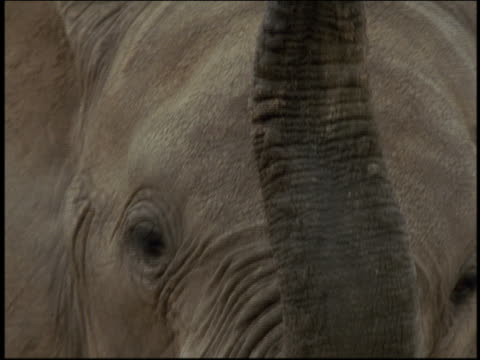 close up face of elephant with trunk up / tilt up trunk / Serengeti, Tanzania, Africa
