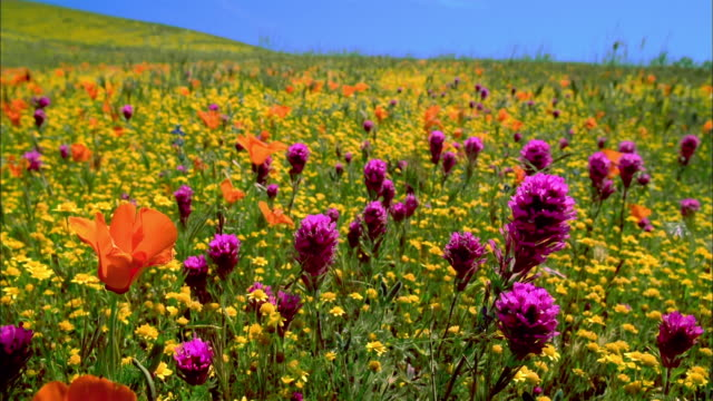 Close up field of orange poppies, yellow buttercups and purple owl's clover / Lancaster, California