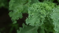 Close up, fresh kale in a garden