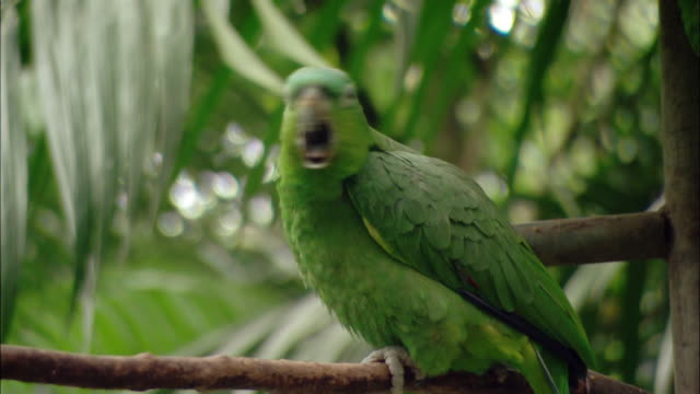 Close up green parrot standing on tree branch / looking at camera and yawning / Sarchi, Costa Rica