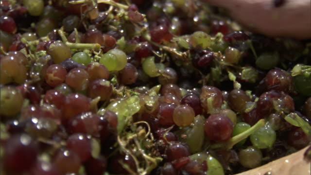 Close Up hand-held - Feet crush grapes still on the vine. / Greece