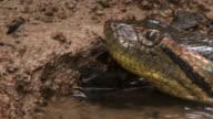 Close Up hand-held pan-left - An anaconda flicks its tongue at the edge of a river. / Sao Paulo, Brazil
