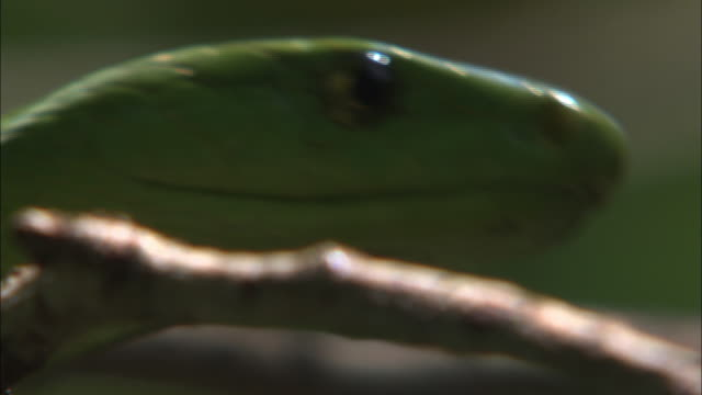 Close Up hand-held pan-left pan-right - A green snake hides behind leaves and flicks its tongue. / South Africa