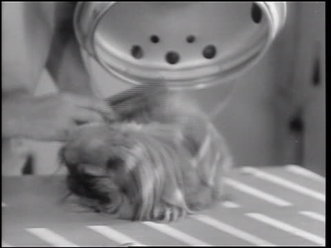 B/W 1933 close up hands of beautician combing small Pekingese dog under hair dryer / Hollywood