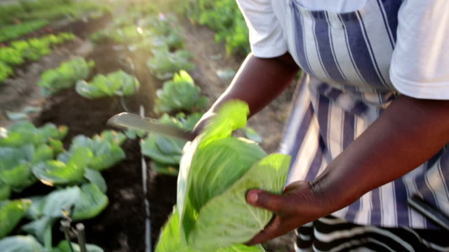 Close up harvesting organic vegetables African woman