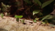close up leaf cutter ants carrying leaves along tree trunk with other ants returning to source / Manu, Peru