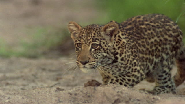 Close up leopard cub watching and stalking prey / Africa