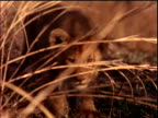 close up lion cub walking through dry grass towards camera / Brazil