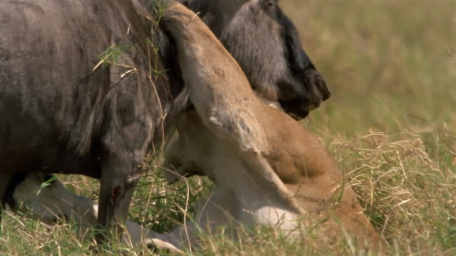 Close up lioness biting the throat of wildebeest / Africa