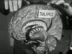 1950 Close up man's hands pointing to model of human brain and turning it around / AUDIO