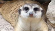 Close up Meerkat