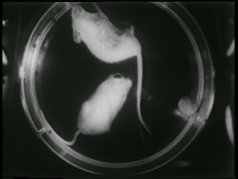 B/W 1952 close up mice in spinning cannister in zero gravity of space capsule / newsreel