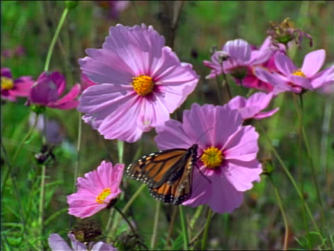 close up monarch butterfly on purple cosmos flower in breezy field / Tennessee