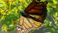 Close up Monarch butterfly resting on leaf of flowering plant / Monarch Butterfly Biosphere Reserve, Ocampo, Mexico