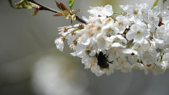 Close up of a bumblebee pollinating flowers England in Spring on April 01 2013 in Nottingham England