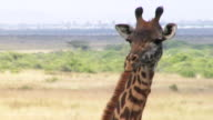 Close up of a giraffe in the wild