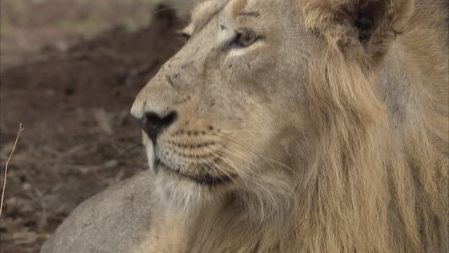A close up of a male Asiatic lion (panthera leo persica) lying down and looking around at its surroundings