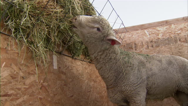 Close up of a sheep eating some hay feed.