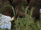 Close up of an African Elephant's (Loxodonta africana) head, facing the camera, as it eats tall grass. Filmed near the Zambezi River, Zambia.