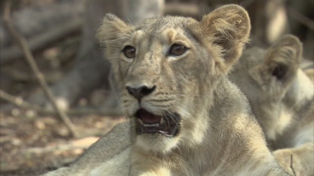 A close up of an Asiatic lion cub (panthera leo persica) panting while looking around