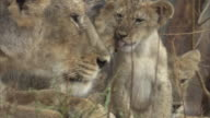 A close up of an Asiatic lioness (panthera leo persica) and two cubs grooming and cleaning each other