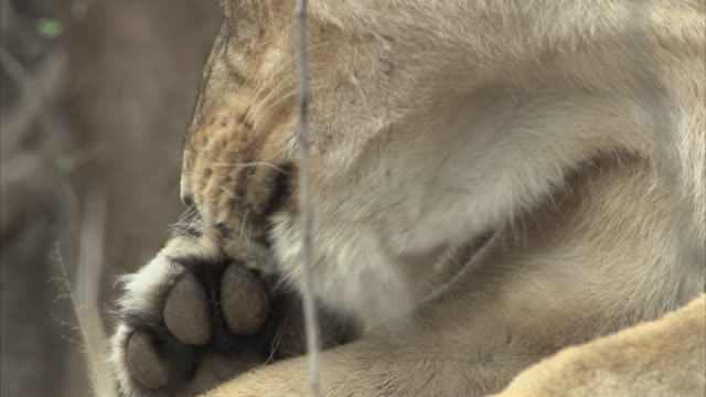 A close up of an Asiatic lioness (panthera leo persica) cleaning a small wound on its paw