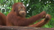 close up of an orangutan sitting behind a log eating sugar cane then two orangutans in shot one puts arm around other in hug as eats