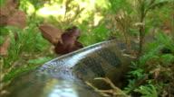 Close up of Anaconda crawling on Amazon Rainforest