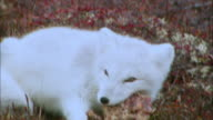 Close up of Arctic Fox biting off and eating its prey