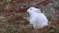 Close up of Arctic Hare looking around