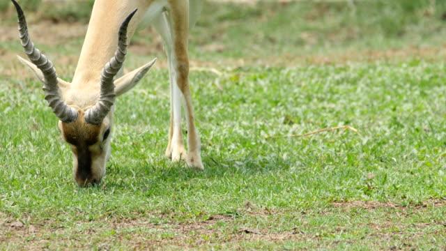 Nahaufnahme des wunderschönen Hirschziegenantilope Antilope Fütterung auf Gras im Feld, 4 k (UHD