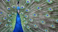 Close up of beautiful peacock with green and blue feather