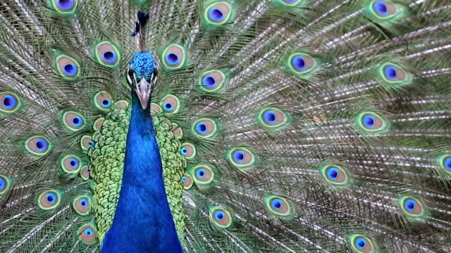Nahaufnahme eines schönen Pfau mit grünen und blauen Feder