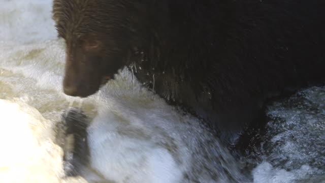 Close up of Black Bear (Ursus americanus) catching a large salmon