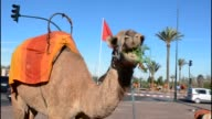 Close up of camel eating grass on street in Marrakech Morocco