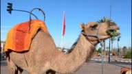 Close up of camel eating grass on street near the Mosque Koutoubia in Marrakech Morocco