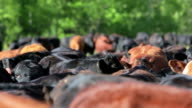 Close up of cattle herd