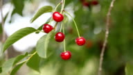 Close up of cherries on branch