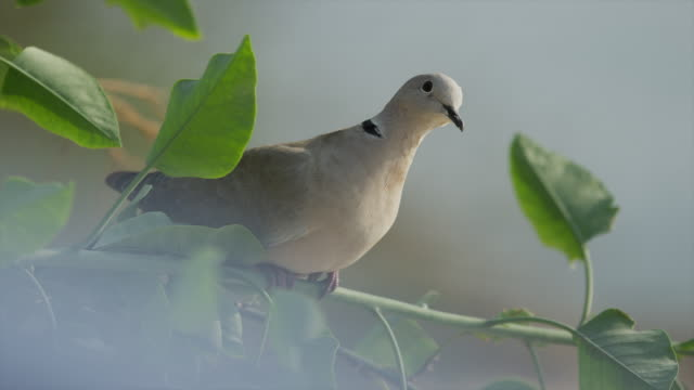 Close up of dove perching on branch / Cap d'Ail, France