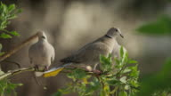 Close up of doves perching on branch / Cap d'Ail, France