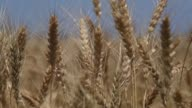 Close Up of ears of wheat swaying in a light breeze